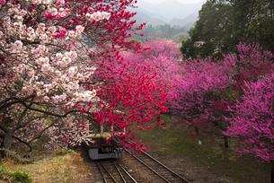 満開の桜やハナモモの花並木の間を走る列車 わたらせ渓谷鉄道神戸駅付近の写真素材 [FYI04837915]