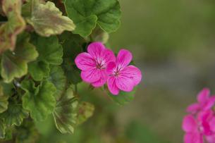ゼラニュームの花の写真素材 [FYI04838071]