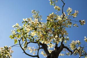 クスノキの若葉の写真素材 [FYI04838072]