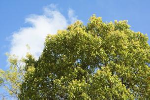 クスノキの若葉と青空の写真素材 [FYI04838078]