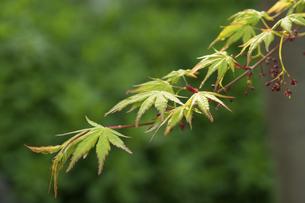 新緑の楓の写真素材 [FYI04838084]
