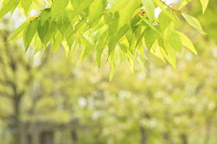 ケヤキの新緑の写真素材 [FYI04838086]