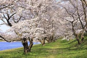 三刀屋川河川敷の桜の写真素材 [FYI04838146]