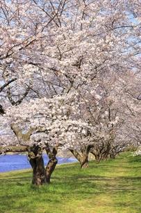 三刀屋川河川敷の桜の写真素材 [FYI04838147]