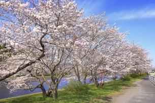 三刀屋川河川敷の桜の写真素材 [FYI04838151]