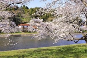 三刀屋川河川敷の桜の写真素材 [FYI04838152]