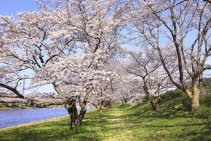 三刀屋川河川敷の桜の写真素材 [FYI04838153]