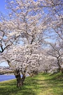 三刀屋川河川敷の桜の写真素材 [FYI04838154]