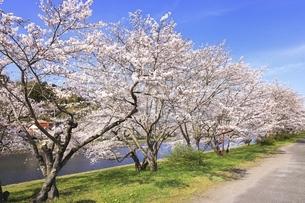 三刀屋川河川敷の桜の写真素材 [FYI04838155]