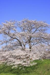 斐伊川堤防 桜並木の写真素材 [FYI04838156]