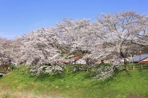 斐伊川堤防 桜並木の写真素材 [FYI04838157]