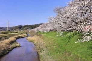 斐伊川堤防 桜並木の写真素材 [FYI04838158]