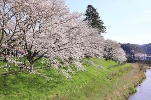 斐伊川堤防 桜並木の写真素材 [FYI04838159]