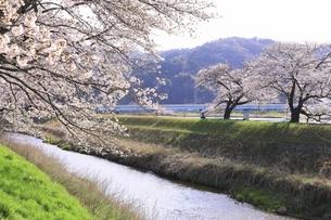 斐伊川堤防 桜並木の写真素材 [FYI04838160]