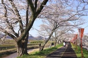 斐伊川堤防 桜並木の写真素材 [FYI04838161]
