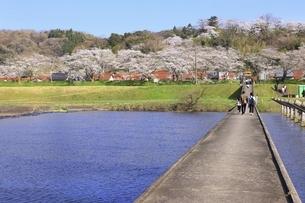 斐伊川堤防 桜並木の写真素材 [FYI04838162]