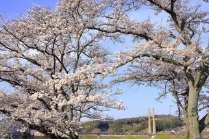 斐伊川堤防 桜並木の写真素材 [FYI04838166]