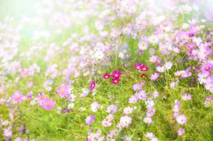 コスモスの花の写真素材 [FYI04838376]