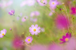 コスモスの花の写真素材 [FYI04838379]