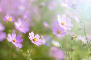 コスモスの花の写真素材 [FYI04838381]