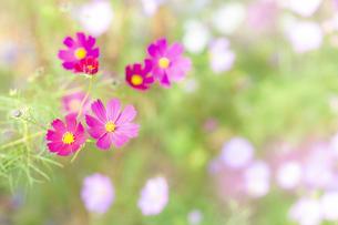 コスモスの花の写真素材 [FYI04838386]
