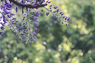 藤の花の写真素材 [FYI04838426]