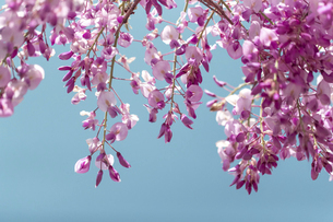 藤の花の写真素材 [FYI04838427]