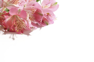 アルストロメリアの花首の写真素材 [FYI04838431]