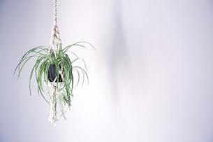 吊るし植物のハンギングプランターのグリーンがある室内の写真素材 [FYI04838612]