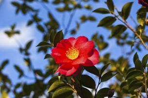 立ち寒椿の花の写真素材 [FYI04838720]