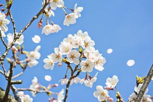 春満開の桜の写真素材 [FYI04838771]