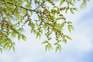 ケヤキの新芽と花の写真素材 [FYI04838774]