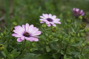 オステオスペルマムの花の写真素材 [FYI04838775]