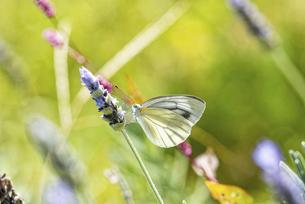 ラベンダーの花に留まるモンシロチョウの写真素材 [FYI04838989]