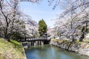 桜満開の龍岡城五稜郭の写真素材 [FYI04839045]