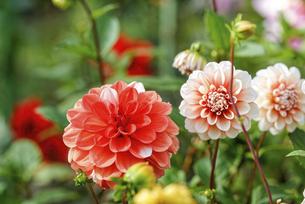 咲いているオレンジ色のダリアの花の写真素材 [FYI04839061]