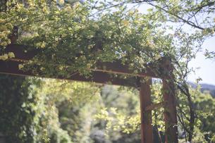 満開のバラの花のアーチの写真素材 [FYI04839065]