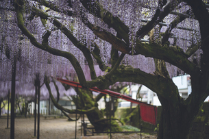 満開の美しい藤の花。福岡県の藤の花の名所スポット[黒木の大藤]の写真素材 [FYI04839085]
