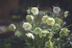 冬場に咲く美しいクリスマスローズの花の写真素材 [FYI04839109]