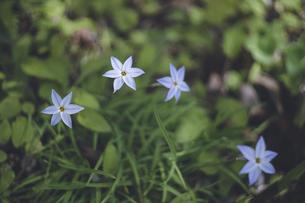 花壇に咲く青い花の写真素材 [FYI04839111]