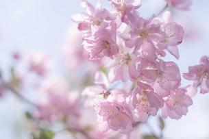 満開のピンク色の美しいリンゴの花と青空の写真素材 [FYI04839112]