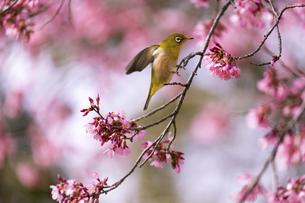 オカメザクラとメジロ(大阪府、鶴見緑地)の写真素材 [FYI04839123]