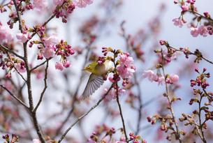 ヨウコウザクラに羽ばたくメジロ(大阪府、鶴見緑地)の写真素材 [FYI04839124]
