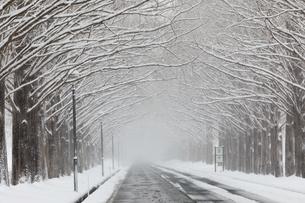 吹雪のメタセコイア並木(滋賀県高島市マキノ)の写真素材 [FYI04839128]
