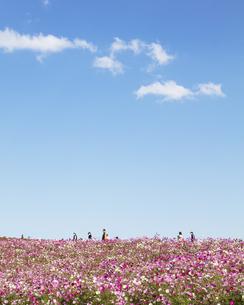 国営ひたち海浜公園「みはらしの丘」に咲く満開のコスモスの写真素材 [FYI04839296]