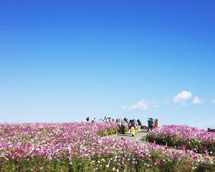 国営ひたち海浜公園「みはらしの丘」に咲く満開のコスモスの写真素材 [FYI04839299]
