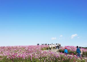 国営ひたち海浜公園「みはらしの丘」に咲く満開のコスモスの写真素材 [FYI04839302]