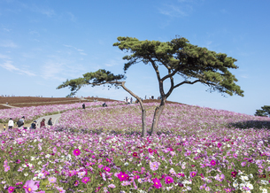 国営ひたち海浜公園「みはらしの丘」に咲く満開のコスモスの写真素材 [FYI04839306]