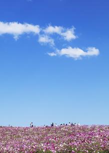 国営ひたち海浜公園「みはらしの丘」に咲く満開のコスモスの写真素材 [FYI04839308]
