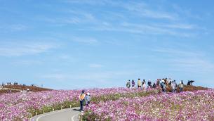 国営ひたち海浜公園「みはらしの丘」に咲く満開のコスモスの写真素材 [FYI04839312]